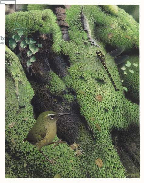 Long-Billed Wren, illustration from the series 'Extinct Birds of New Zealand' (colour litho)