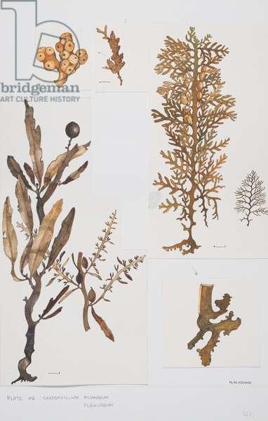 Brown Seaweed, Sargassaceae, Carpophyllum plumosum and C. flexuosum,  (w/c and graphite pencil on paper)