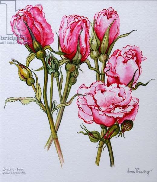 Rose, Queen Elizabeth, 2006 (w/c on paper)