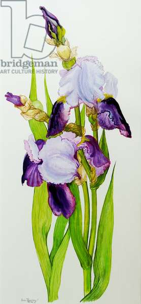 Mauve and purple irises with two buds (w/c on hand-made paper)