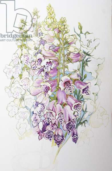 Foxgloves and White Campanulas,2012,(w/c on handmade paper)