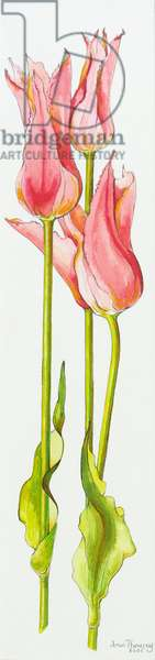 Three Red Lily-Flowered Tulips Marianne,watercolour,2010