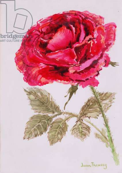A Red Rose,2000, Water colour on handmade paper