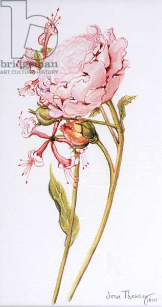 Pink Rose, Abraham Derby with Honeysuckle, 2008 (w/c on paper)