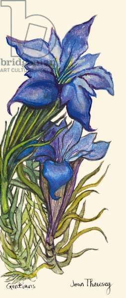 Gentians, (watercolour)