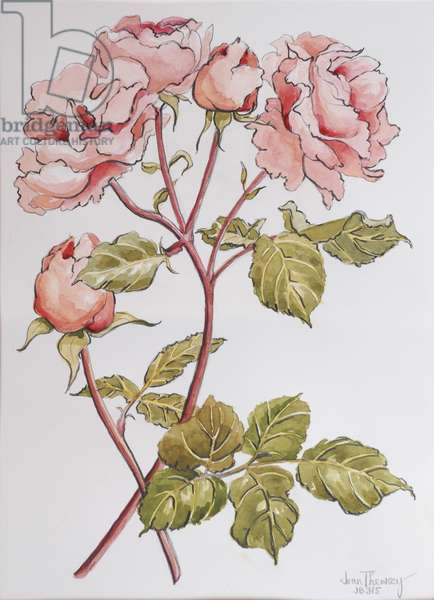 Roses,Abraham Darby, 2012, (pencil and watercolour on handmade paper)