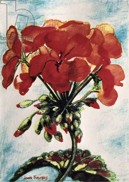 Geranium, (watercolour)