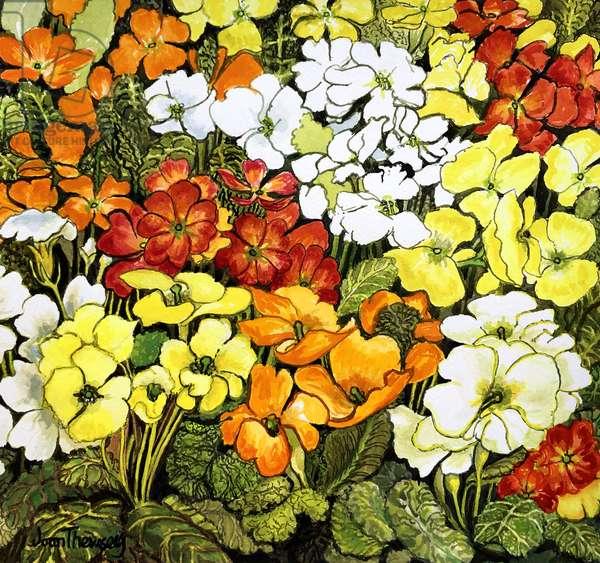 Primrose Border, white, yellow, orange and red primroses (watercolour)