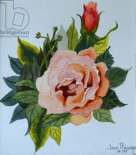 Pink Rose and Bud, 1986,(watercolour),