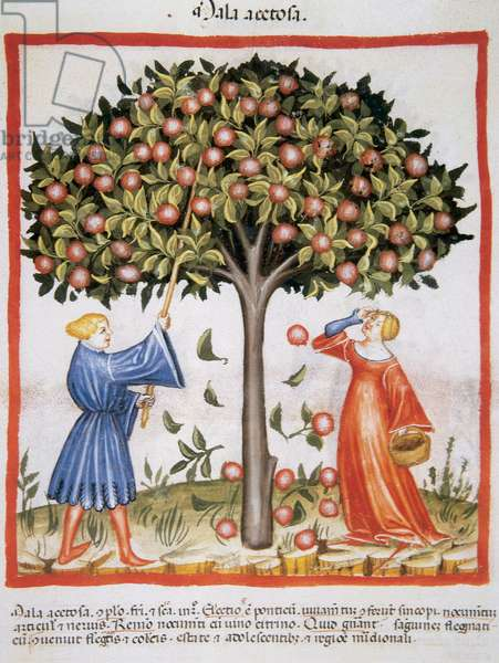 Tacuinum Sanitatis. Late XIV century. Picking tart apples.