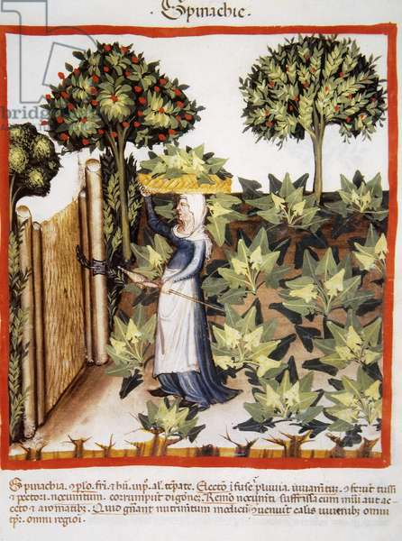 Tacuinum Sanitatis. Late 14th century. Farmer in her orchard with a basket of spinach on her head. Miniature. Folio 27r.