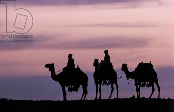 Camels (photo)
