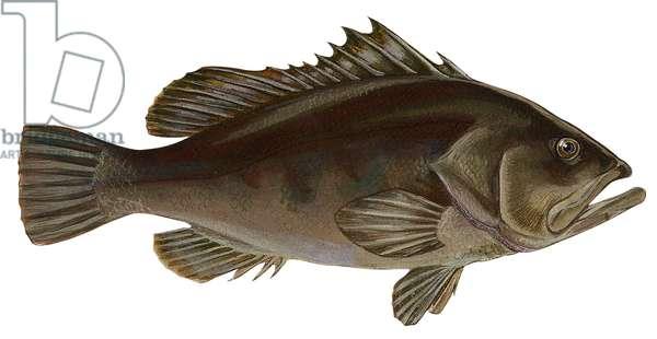 Merou, goliath - Warsaw grouper (Epinephelus nigritus) ©Encyclopaedia Britannica/UIG/Leemage