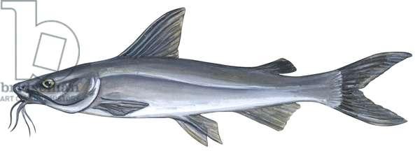 Machoiron chat - Sea catfish (Ariopsis felis) ©Encyclopaedia Britannica/UIG/Leemage
