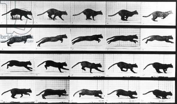 A cat running