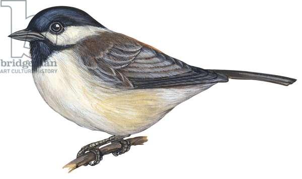 Mesange de Caroline - Carolina chickadee (Poecile carolinensis) ©Encyclopaedia Britannica/UIG/Leemage