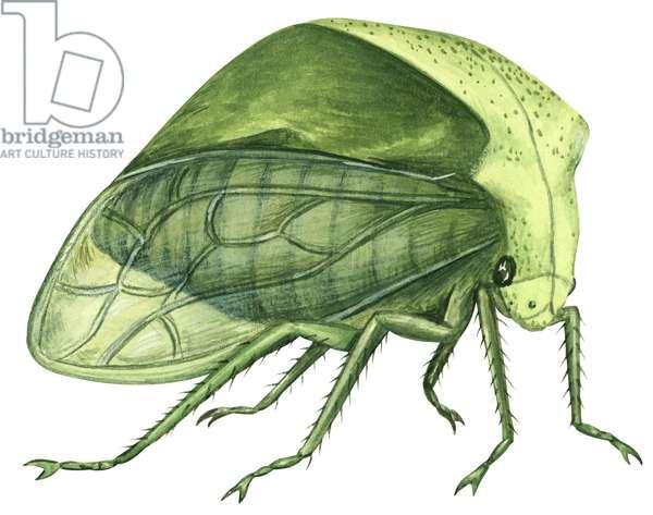 Cicadelle bubale - Treehopper (Ceresa bubalus) ©Encyclopaedia Britannica/UIG/Leemage