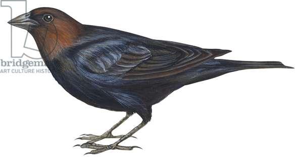 Vacher a tete brune - Brown-headed cowbird (Molothrus ater) ©Encyclopaedia Britannica/UIG/Leemage