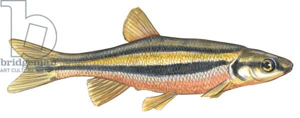 Vairon a gorge rouge - Southern redbelly dace (Phoxinus erythrogaster) ©Encyclopaedia Britannica/UIG/Leemage