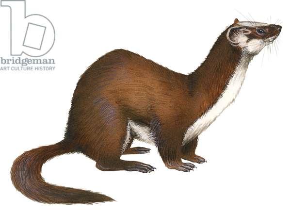 Common weasel