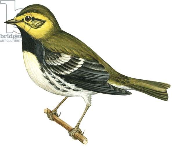 Paruline a gorge noire - Black-Throated Green warbler (Dendroica virens) ©Encyclopaedia Britannica/UIG/Leemage