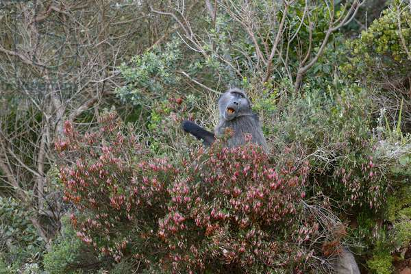 Chacma Baboon at Cape Point (photo)