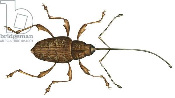 Charancon, balanin - Nut weevil (Curculio proboscideus) ©Encyclopaedia Britannica/UIG/Leemage