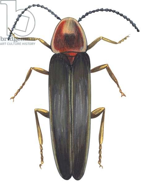 Luciole - Firefly (Photinus pyralis) ©Encyclopaedia Britannica/UIG/Leemage