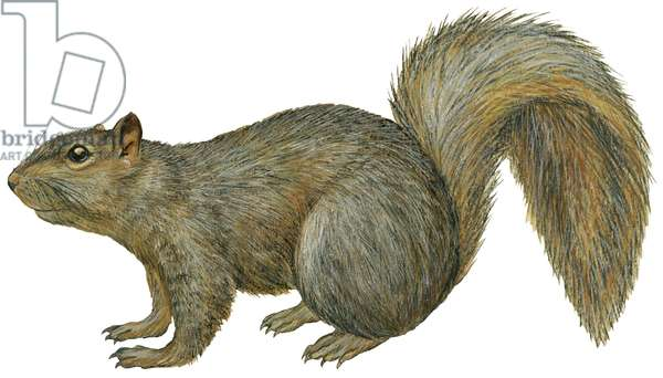 Ecureuil fauve ou Ecureuil renard - Fox squirrel (Sciurus niger) ©Encyclopaedia Britannica/UIG/Leemage