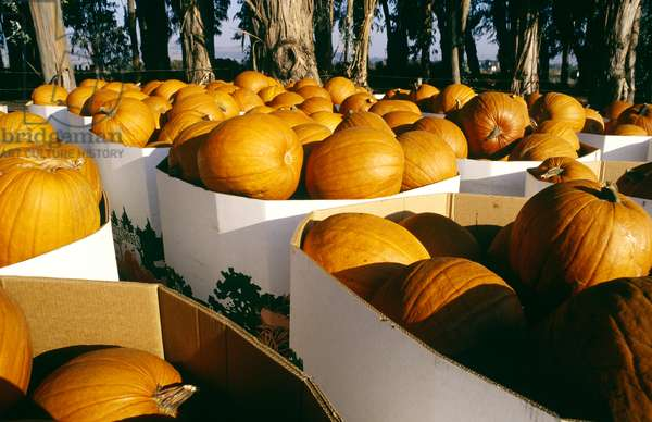 Pumpkins, Napa Valley, California, North America (photo)