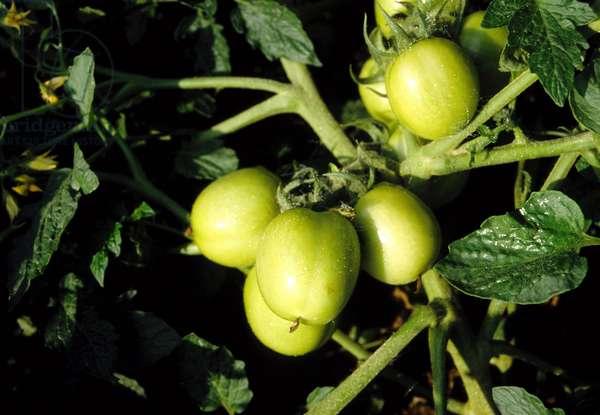 Green tomatoes.  (photo)