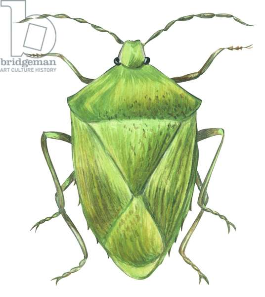Punaise verte fetide - Stink bug (Acrosternum hilare) ©Encyclopaedia Britannica/UIG/Leemage