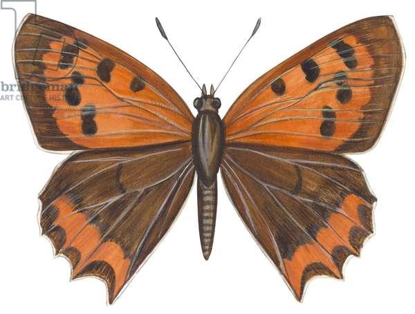 Cuivre - American copper butterfly (Lycaena hypophlaea) ©Encyclopaedia Britannica/UIG/Leemage