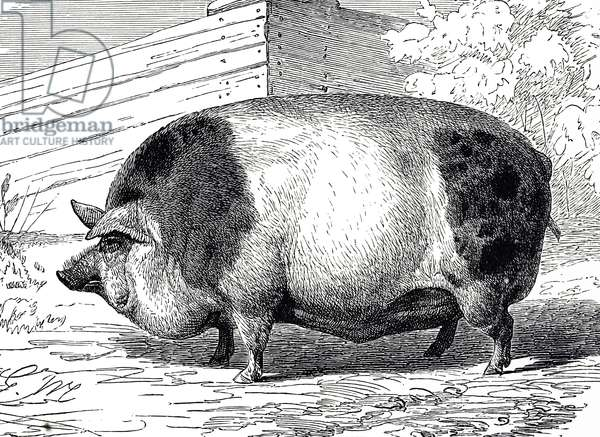 Engraving depicting a Harrison Pig, 19th century