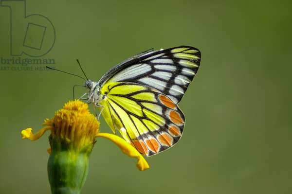 Butterfly on a budding marigold flower, Bagerhat, Bangladesh. January 12, 2006.  (photo)