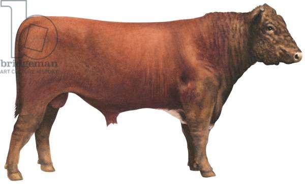 Taureau Shorthorn (Durham) - Shorthorn bull (Cattle breed) ©Encyclopaedia Britannica/UIG/Leemage