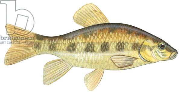 Poisson ventouse - Lake chubsucker (Erimyzon sucetta) ©Encyclopaedia Britannica/UIG/Leemage