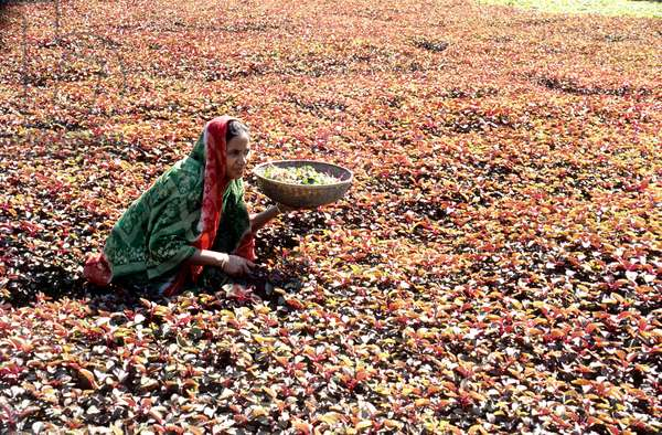 A woman is harvesting red spinach. Bangladesh.  (photo)