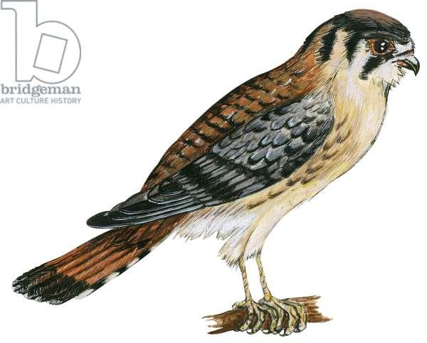 Crecerelle d'Amerique - Sparrow hawk (Falco sparverius) ©Encyclopaedia Britannica/UIG/Leemage