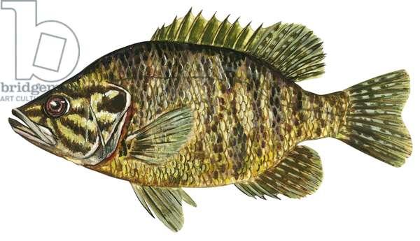Crapet - Warmouth (Chaenobryttus gulosus) ©Encyclopaedia Britannica/UIG/Leemage