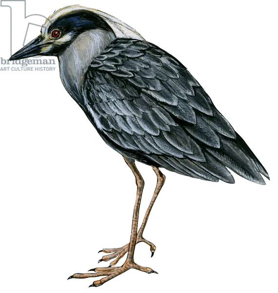 Bihoreau violace - Yellow-crowned night heron (Nyctanassa violacea) ©Encyclopaedia Britannica/UIG/Leemage