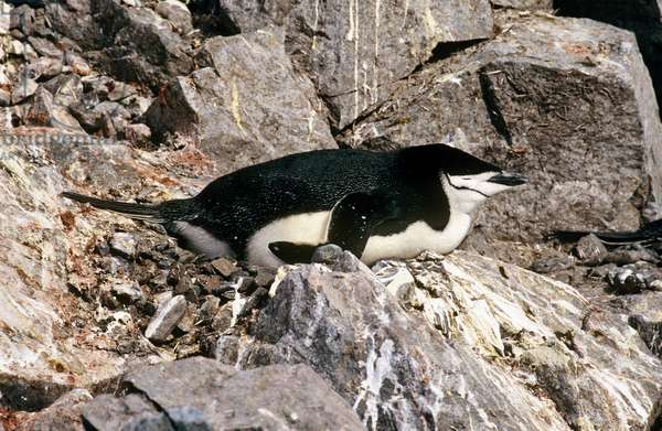 Chinstrap Penguin Mother (photo)