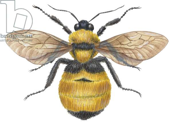 Bourdon - Bumble bee (Bombus) ©Encyclopaedia Britannica/UIG/Leemage