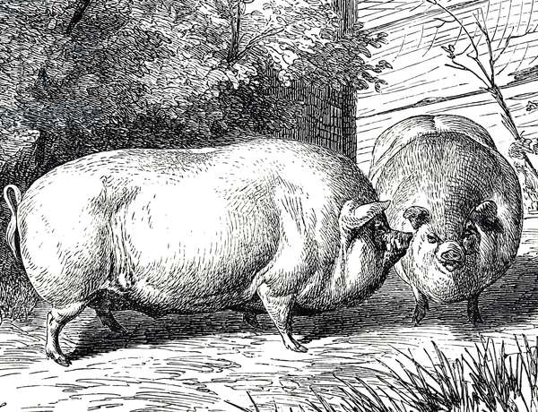 Engraving depicting dwarf Chinese pigs, 19th century