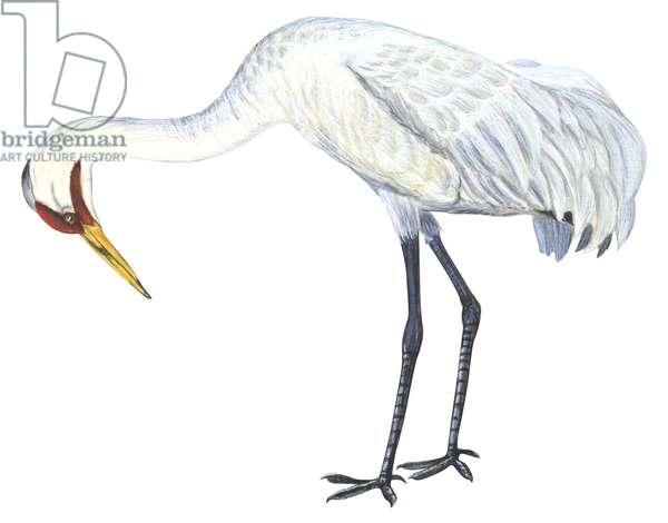 Grue blanche - Whooping crane (Grus americana) ©Encyclopaedia Britannica/UIG/Leemage