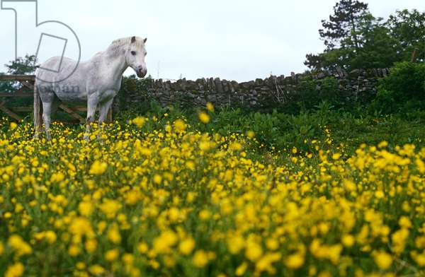 Horse in Meadow of Flowers, Peak District, England, United Kingdom (photo)
