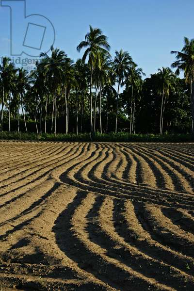 People were quickly getting on with their lives recovering from the damage as farmers near a school in Trincomalee plowed the land that had been converted into a refugee camp following the Indian Ocean tsunami in 2004. Sri Lanka. January 2, 2005.  (photo)