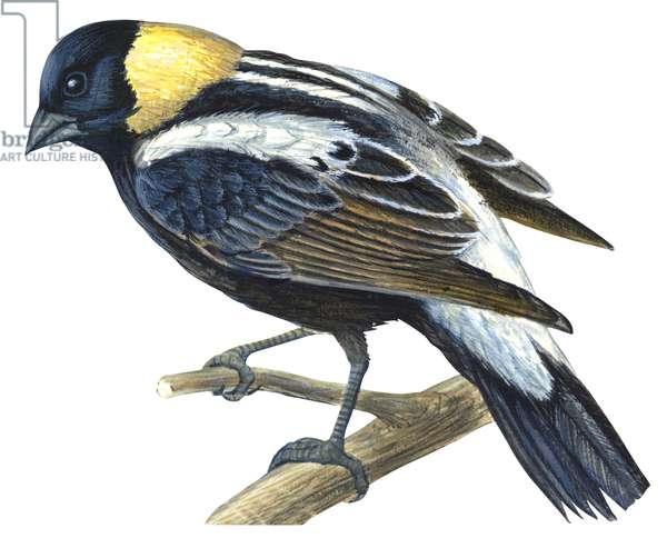 Goglu commun - Bobolink (Dolichonyx oryzivorus) ©Encyclopaedia Britannica/UIG/Leemage