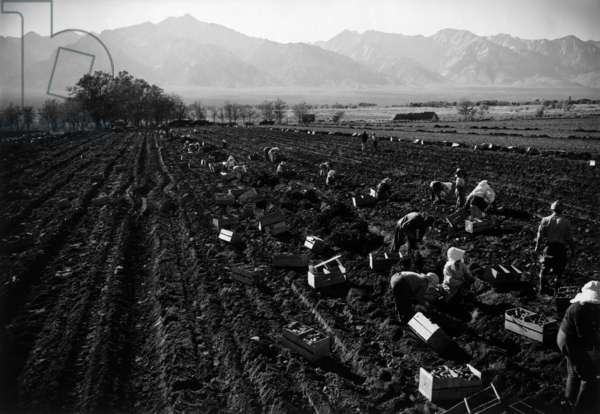 Potato fields, Manzanar Relocation Center, California, 1943 (photo)