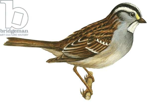 Bruant a gorge blanche - White-Throated sparrow (Zonotrichia albicollis) ©Encyclopaedia Britannica/UIG/Leemage